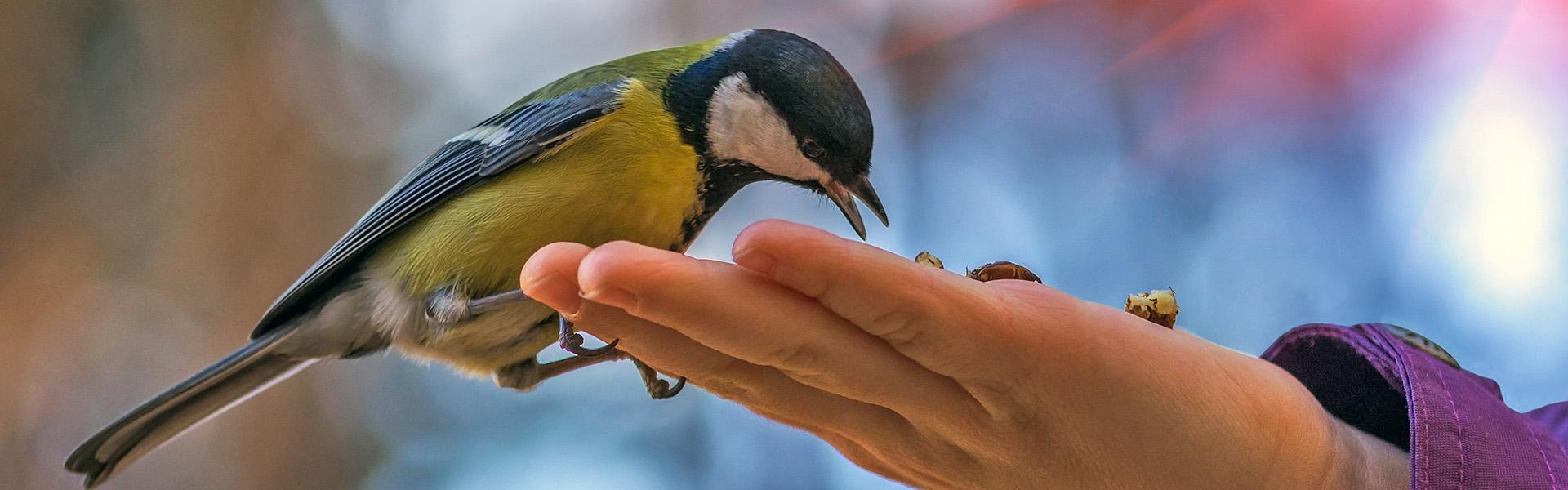 A blue tit feeding from a person's hand